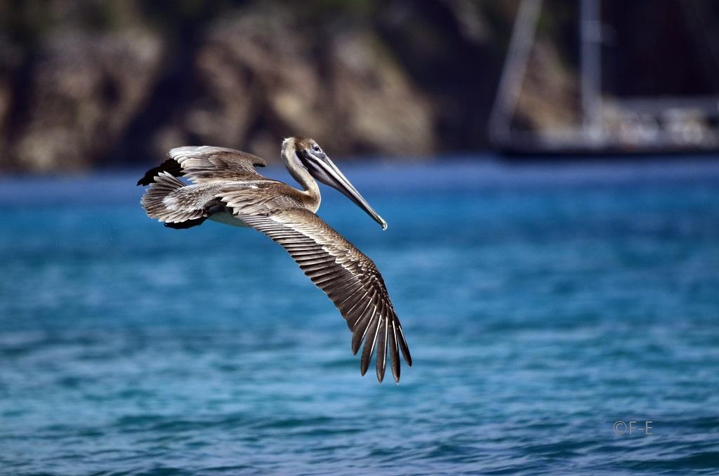 Pelican aux antilles